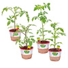Bonnie 25 oz Celebrity Tomato, Better Boy Tomato, Husky Cherry Red Tomato, Sweet 100 Tomato Plant