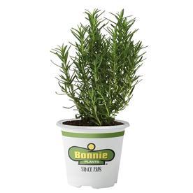 Bonnie 5-in Tomato Plant