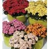 3 oz Flowering Kalanchoe (LW04263HP)