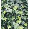8-in English Ivy (L5369HP)