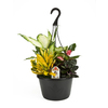 Exotic Angel Plants 5-Quart Alocasia 'Polly-ft Hanging Basket (L03916hp)