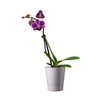 Exotic Angel Plants 7 oz Orchid in Planter (L20963hp)