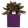 Exotic Angel Plants 20 oz Purple Waffle Planter (L0095)