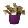 Exotic Angel Plants 20 oz Fittonia in Planter (L9405hp)