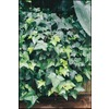 1.25-Quart English Ivy (L5369hp)