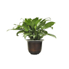 Exotic Angel Plants 1.25-Quart Aglaonema in Planter (L20910hp)