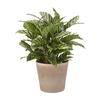 Exotic Angel Plants 1.25-Quart Calathea (L20924hp)