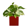 Exotic Angel Plants 1.25-Quart Marble Queen Pothos in Planter (L20947hp)