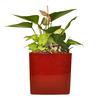 Exotic Angel Plants 1.25-Quart Anthurium in Planter (L20914hp)