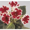 1.25-Quart Gloxinia (L21442HP)