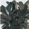 1 Gallon(S) Burgundy Rubber Plant (Ltl0043)