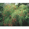 1-Gallon Firecracker Plant (L9173)
