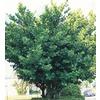 2-Gallon Autograph Tree (L23957)