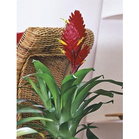 1-Gallon Bromeliads (L20921hp)
