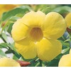 1-Gallon Yellow Allamanda Bush (L3415)
