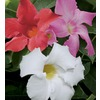 2-Gallon Mandevilla (L10440)