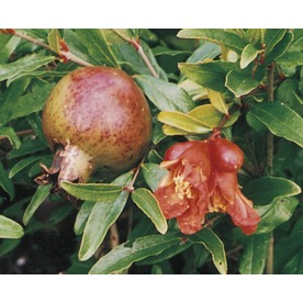2-Gallon Pomegranate Tree (L7402)