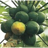 2-Gallon Papaya Tree (L14496)