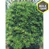 2-Gallon Podocarpus (L8348)