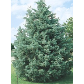 2-Gallon Arizona Cypress (L5089)