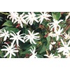 2-Gallon Downy Jasmine (L6387)