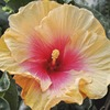 2-Gallon Yellow Hawaiian Sunset Hibiscus Flowering Shrub (L23885)