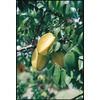 2.25-Gallon Carambola (L7600)