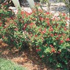  2.25-Gallon Crown of Thorns (L3280)