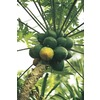 2.25-Gallon Papaya (L14496)