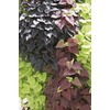 1-Pint Sweet Potato Vine (L9884)