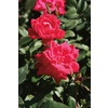 3.25-Gallon Double Knock Out Rose (LW02389)