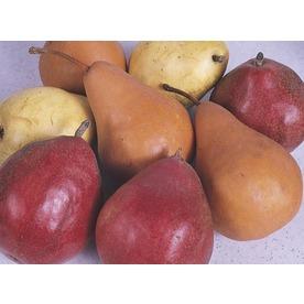 3-n-1 Pear Tree (L10497)