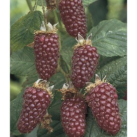 1-Count Thornless Boysenberry (L4598)