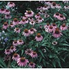 3-Quart Purple Coneflower (L5556)