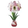 6-in Amaryllis Bulbs
