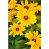 3-Quart Tiger Eye Gold Rudbeckia (LW04218)