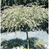1.6-Gallon Dappled Willow Tree (L11651)