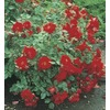 1.6-Gallon Champlain Explorer Rose (L9030)