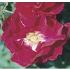1.6-Gallon Cuthbert Grant Rose (L21852)