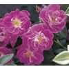 1.6-Gallon William Baffin Rose (L11624)