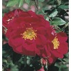  1.6-Gallon Henry Kelsey Climbing Rose (L22055)