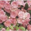 1.6-Gallon The Fairy Rose (L7092)