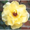 1.6-Gallon Carefree Sunshine Rose (L2705)