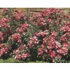 1.6-Gallon Lena Rose (L24834)