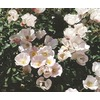 1.6-Gallon Carefree Delight™ Rose (L1036)