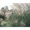 3-Gallon Eulalia Grass (L3912)