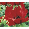 1-Quart Brilliant Poppy (L5606)