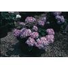 3-Gallon Blue or Pink Endless Summer Hydrangea (L14704)