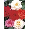 1.63-Pint Assorted Miniature Roses (L11449)
