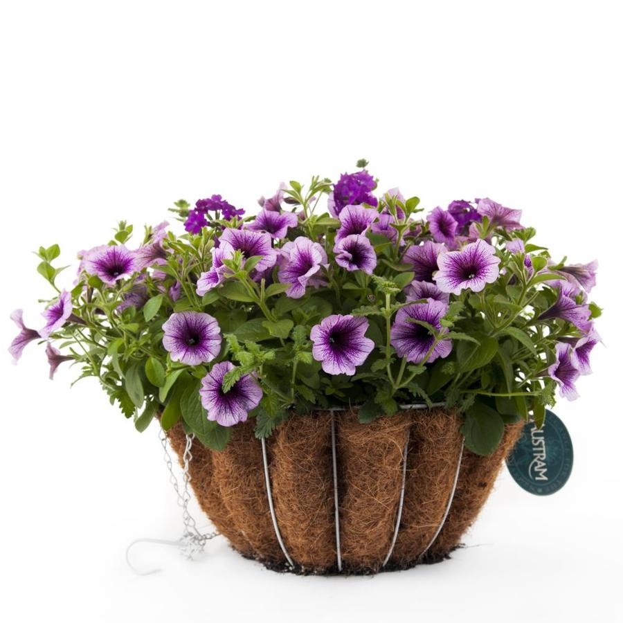 Hanging Flower Baskets At Lowes : Classic purple cleopatra gloss white hanging basket